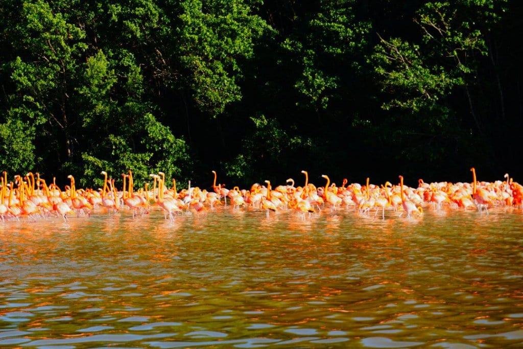 Flamingos in Celestun Yucatan Mexico