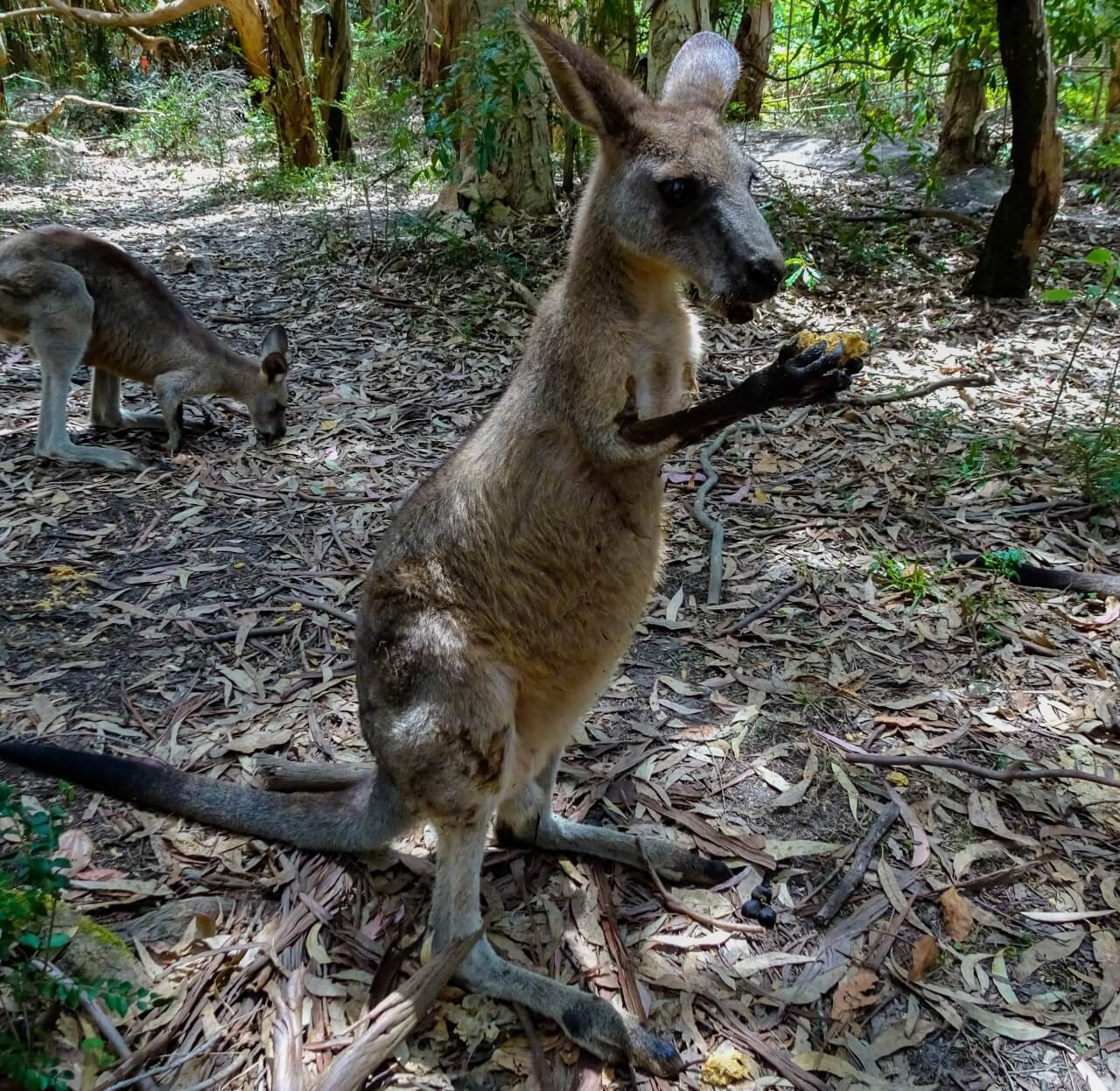 A hungry, wild kangaroo is able to be fed by hand in the small town of Morisset