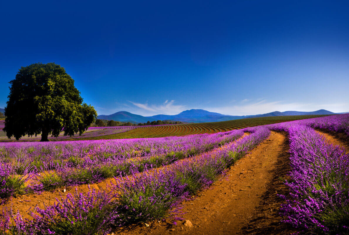 Tasmania Fields