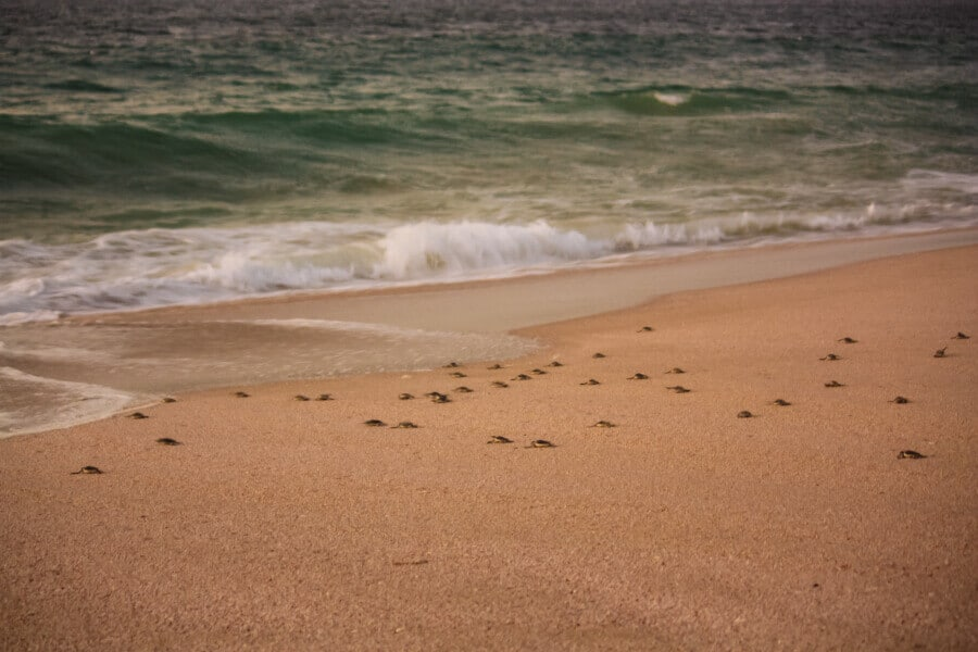 See sea turtles: a top thing to do in Oman