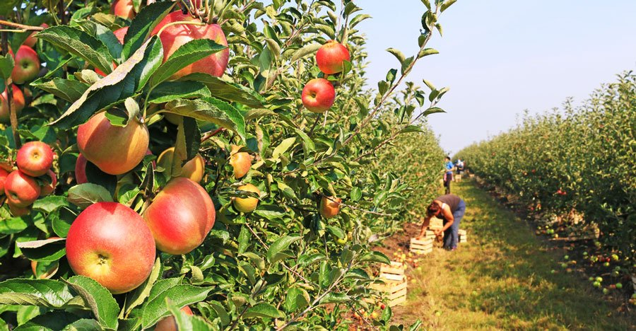 View of people picking apples in an apple farm