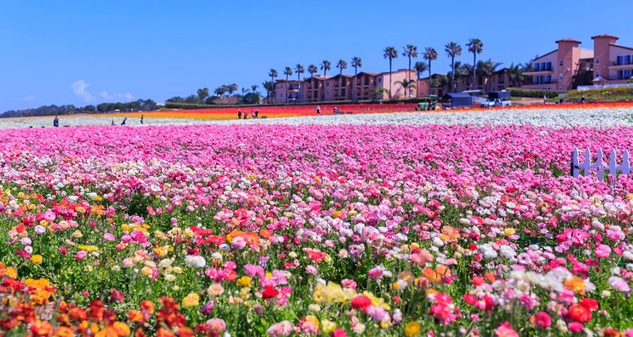 Scenic view of a rainbow flower fields in Carlsbad