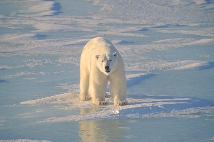 A polar bear walks among snow and ice in Churchill, Manitoba