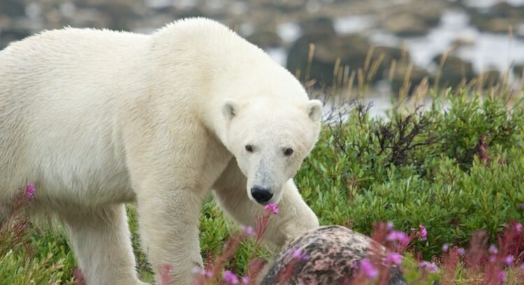 A polar bear in Churchill, one of the top things to do in Manitoba