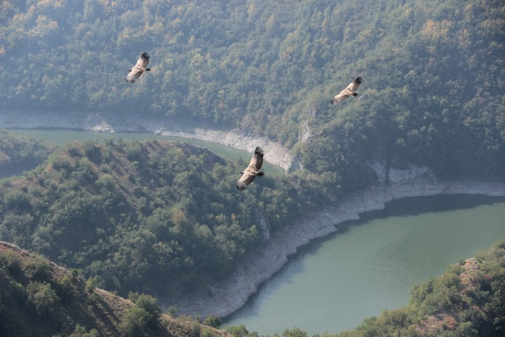 Griffon Vultures flying in Serbia