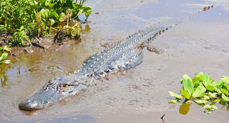 An alligator in Boggy Creek