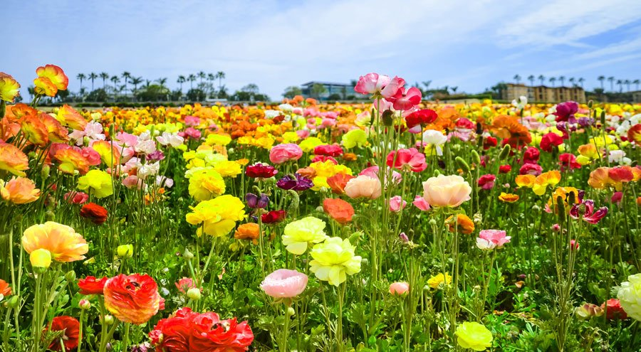 View of a colorful flower field in Carlsbad