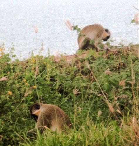 View of monkeys in Monkey Island