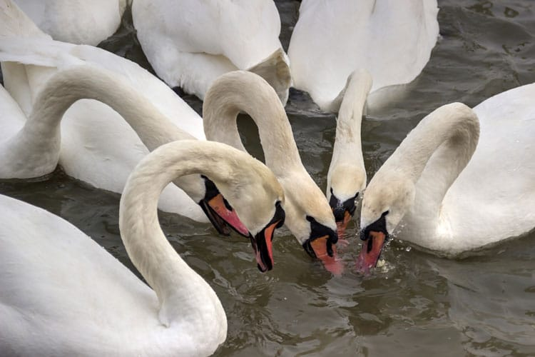 many swans drinking water at the river