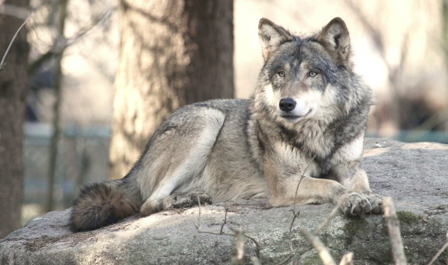 View of a grey wolf lounging