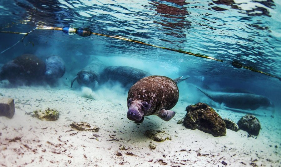 A manatees in Crystal River