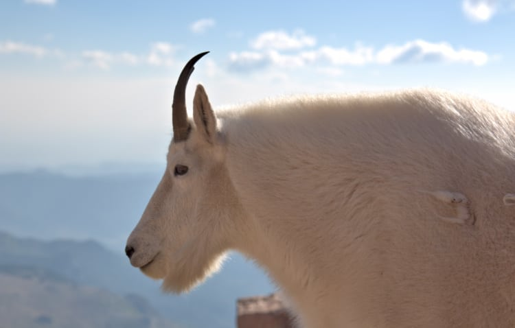A mountain goat looks out over Mount Evans