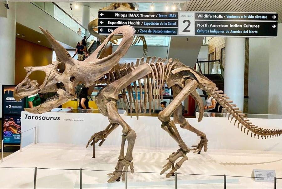 View of a torosaurus skeleton in a museum