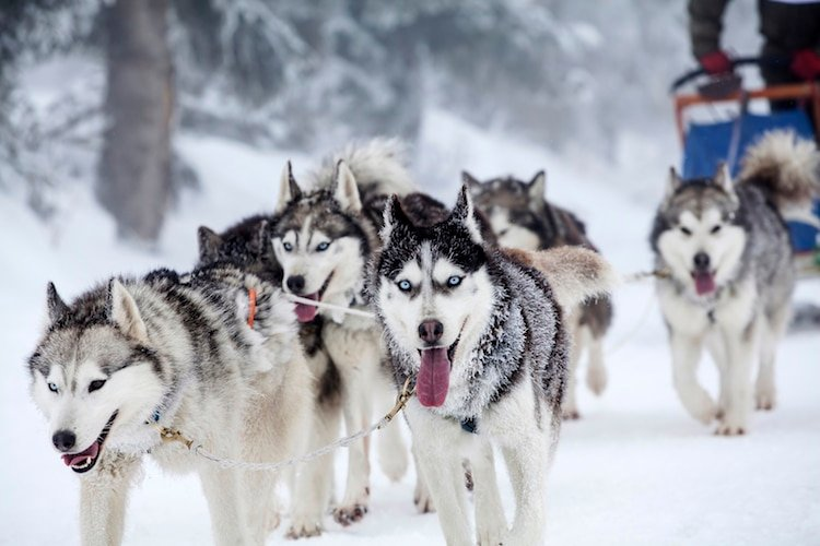 Dog-sledding with huskies in ALberta, Canada
