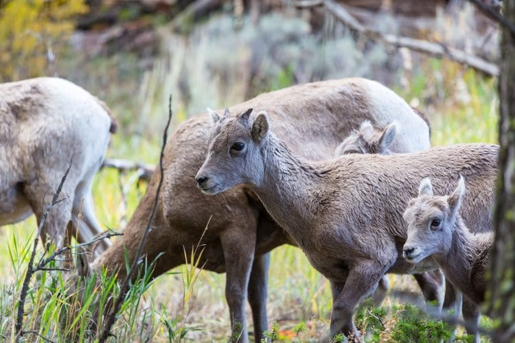 A mountain goat family in the rocky mountains, Canada