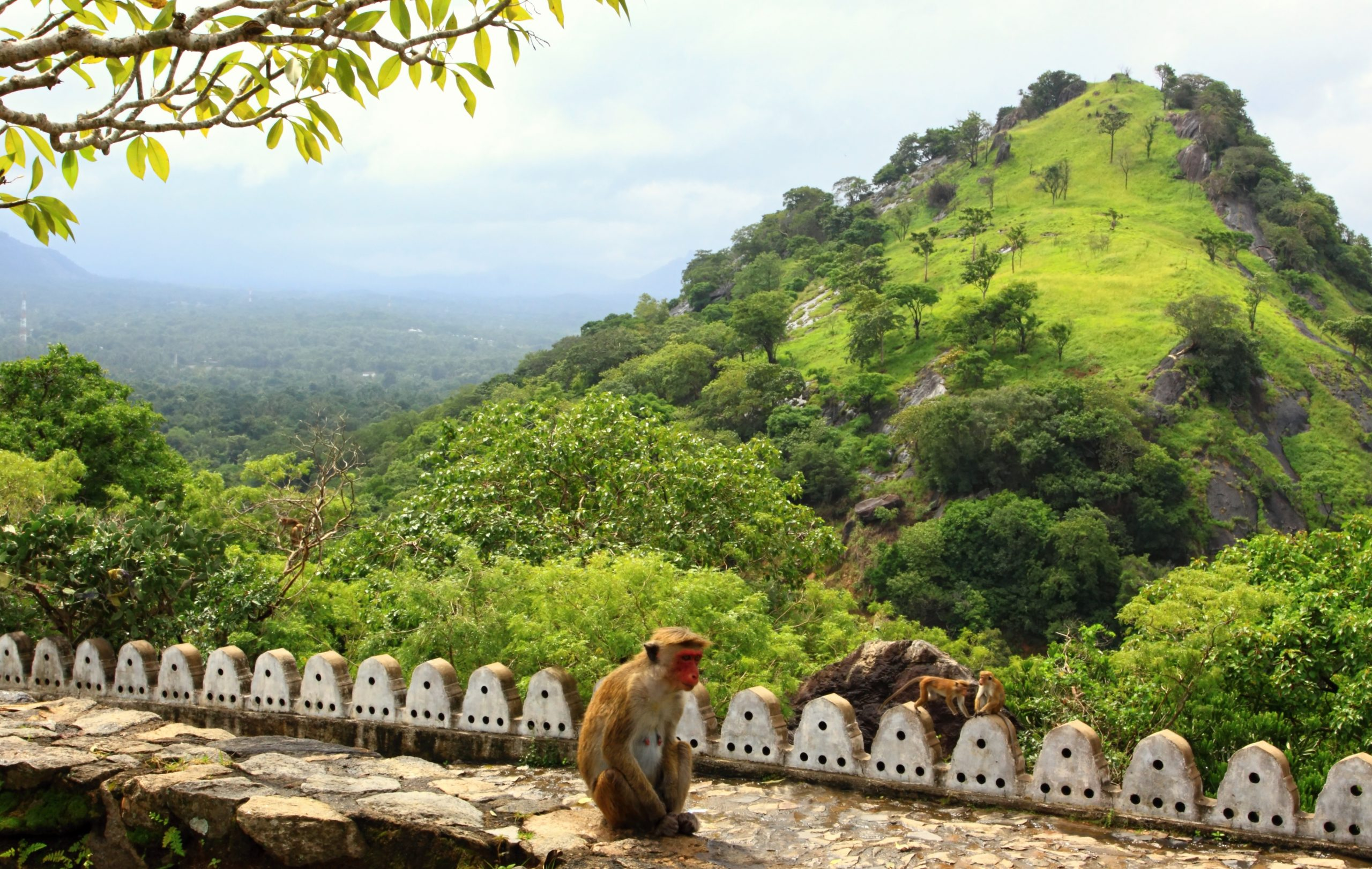 sitting toque macaque in Adam's Peak Sri Lanka