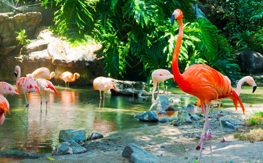 View of flamboyance of flamingos in the water