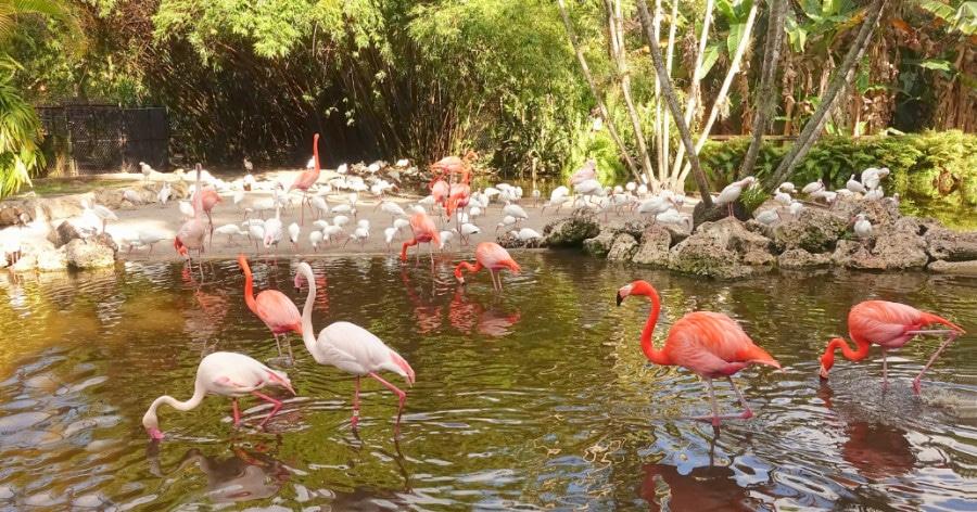 Flamingos in the Flamingo Gardens in Davie, South Florida
