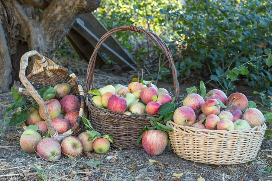View of three baskets full with fresh apples