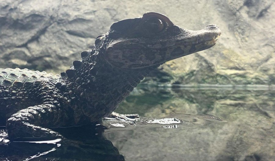 View of a baby alligator on water in Gatorland