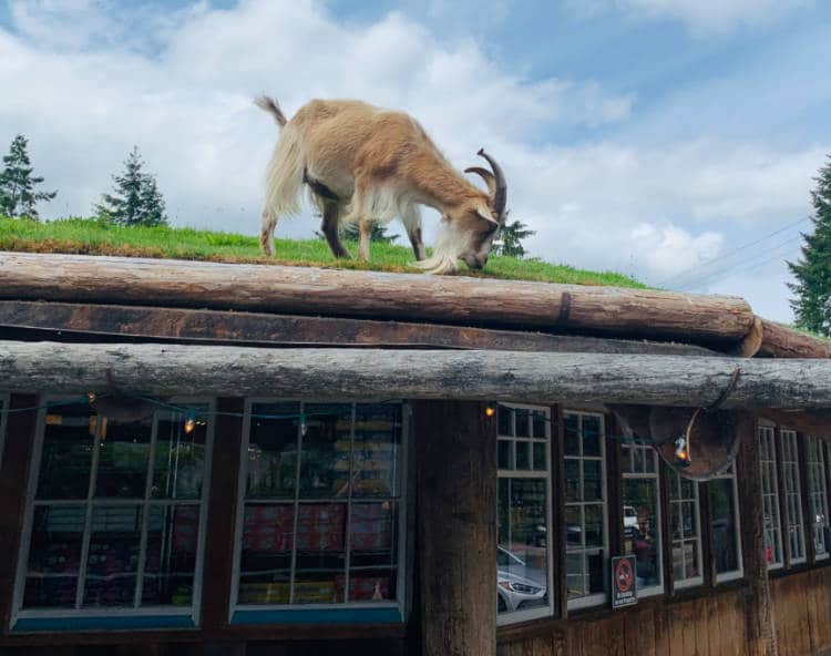 Goats on the Roof of Old Country Market Vancouver Island