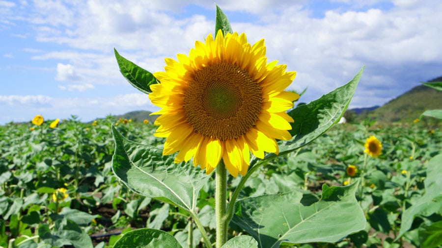 Close up view of a sunflower in a sunflower fields