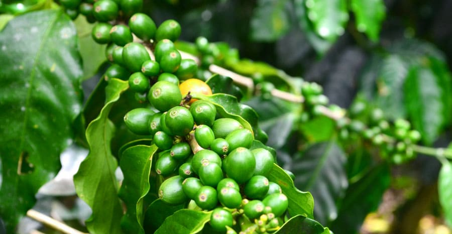 Closed up view of growing green coffee beans