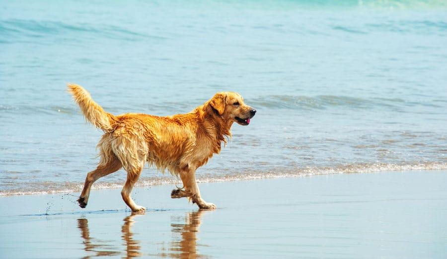 View of a Labrador Retriever walking by the beach