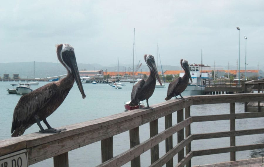 View of pelicans and boats from the background in Ponce