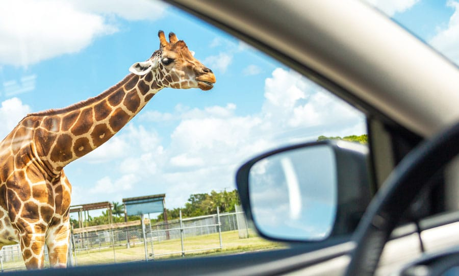 View of a giraffe in Lion Country Safari