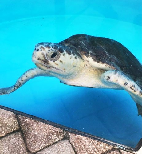View of a sea turtle in a water
