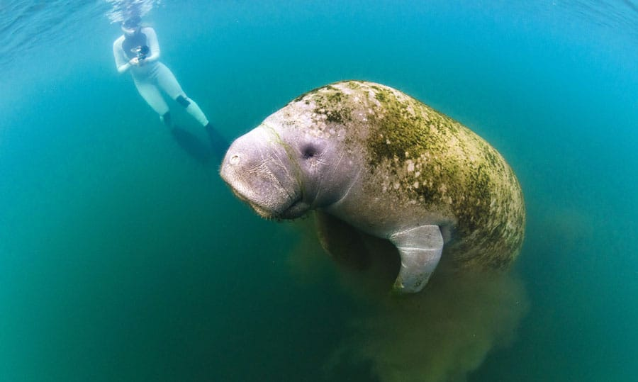 View of a diver filming a manatees under the sea