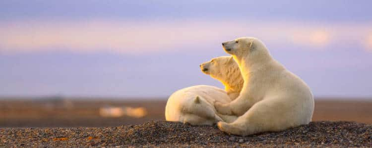 Polar Bears in Churchill, one of the Top Places to Visit in Manitoba