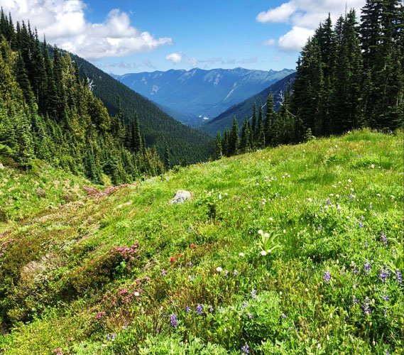 View of the Mount Rainier and blooming flowers on the grass field
