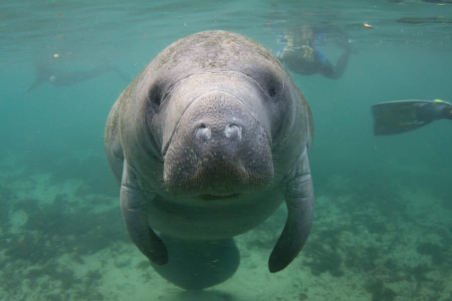 View of a manatee in Florida
