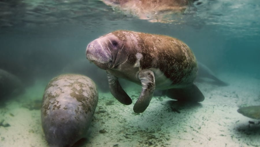 View of a West Indian Manatee in Florida