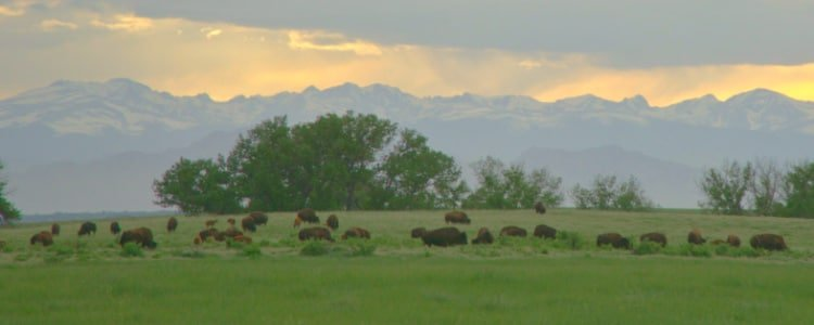 View of bison with mountains in background