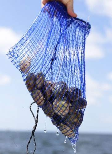 View of a fresh caught scallops