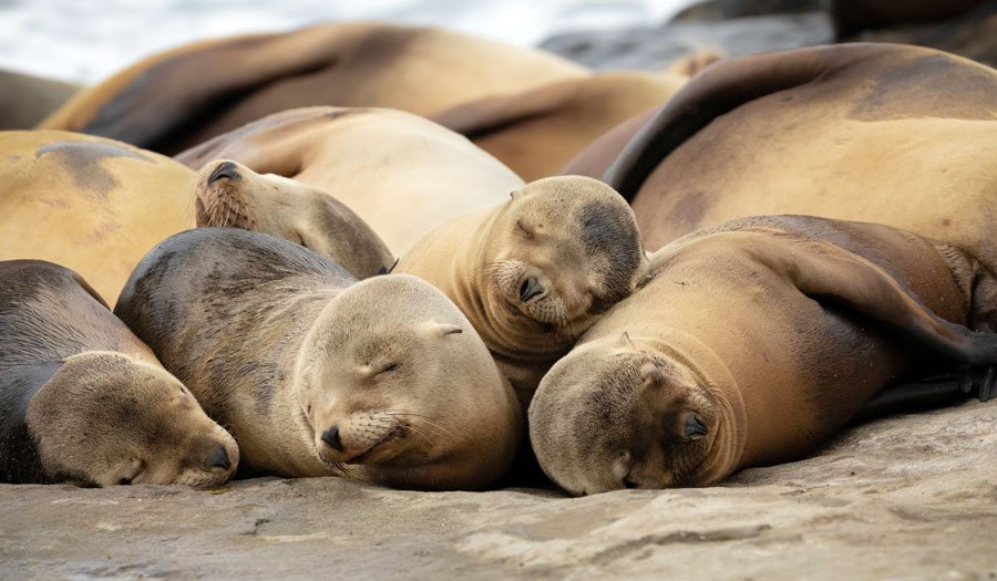 View of baby sea lions sleeping on a rock