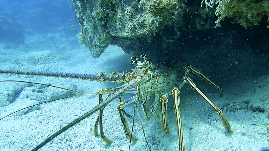 View of a spiny lobster under the Key Largo