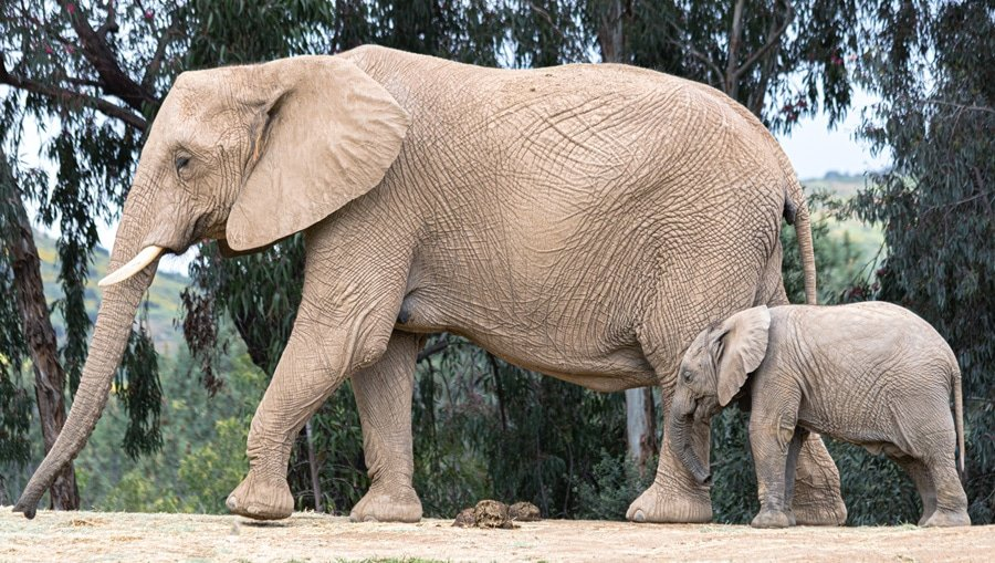 Two welcoming resident elephants at the San Diego Zoo Safari Park