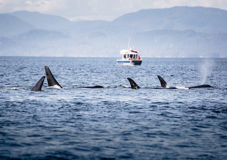 Whales poke their fins out of the ocean while boats watch near Victoria, British Columbia