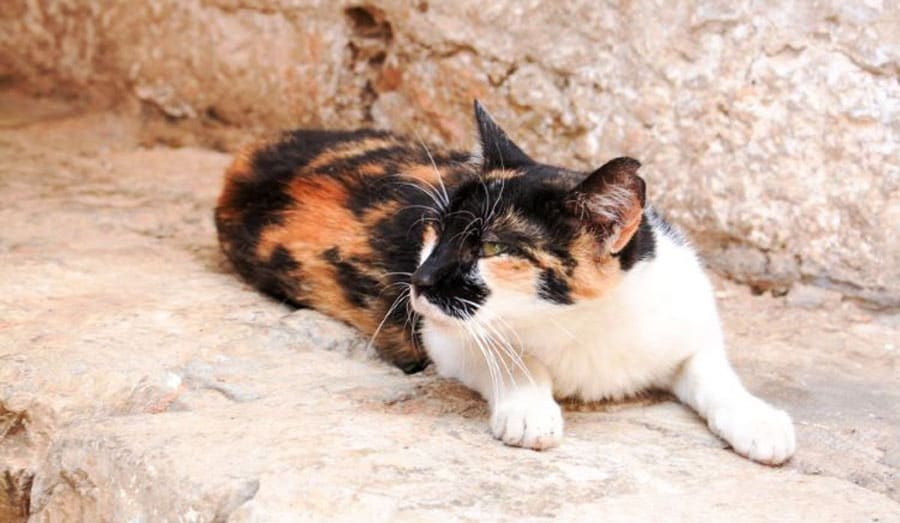 View of a calico cat
