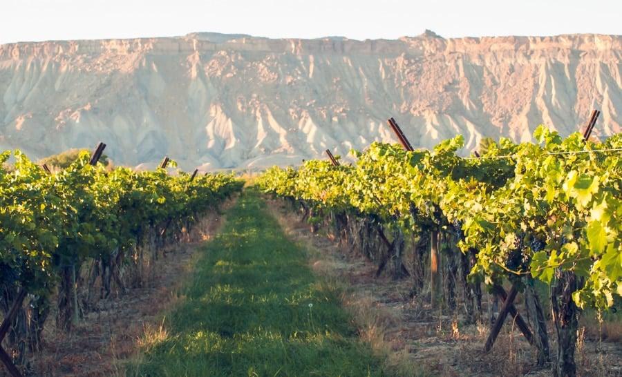 View of vineyard in Palisade Wine Country
