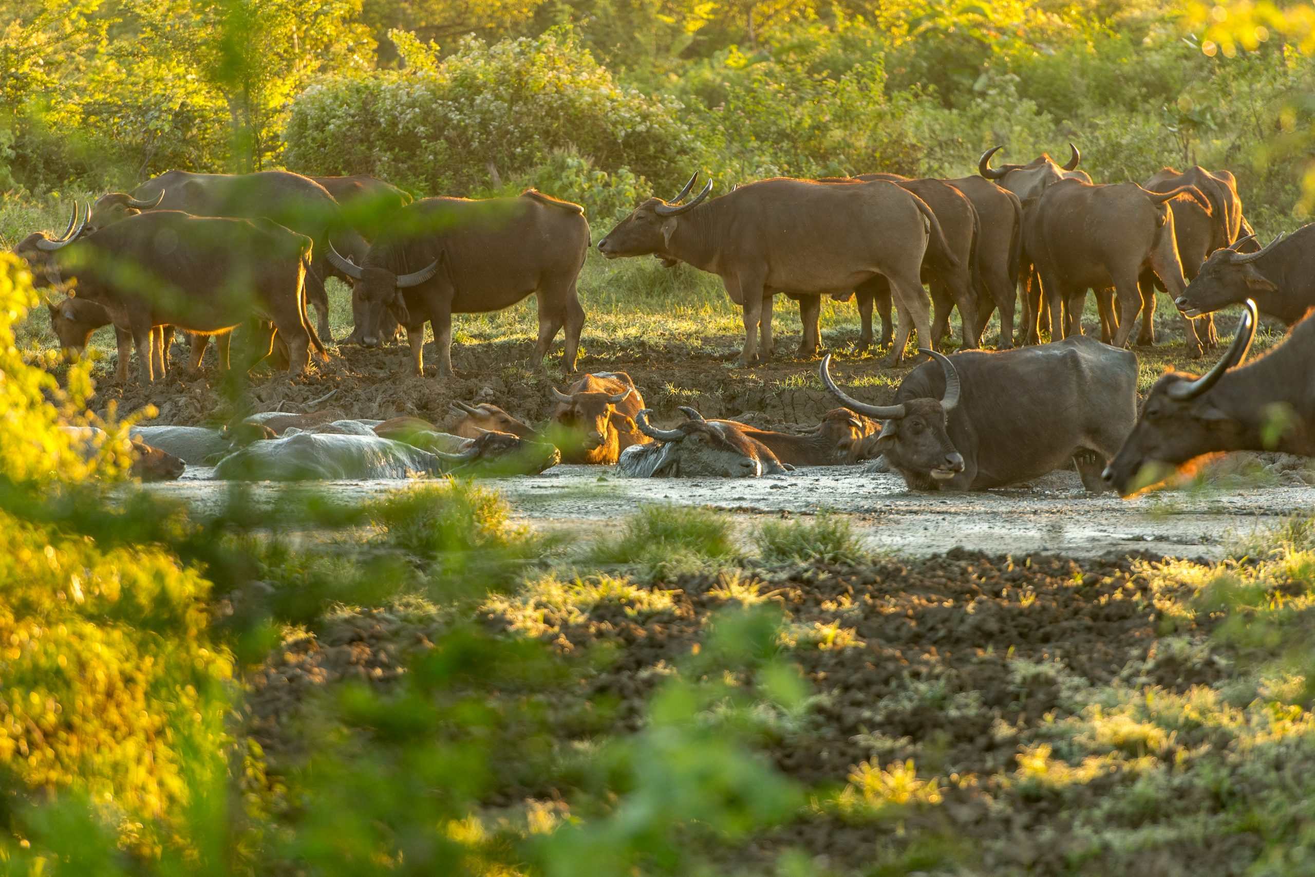 view of water buffalos in Udawalawe national park Sri Lanka