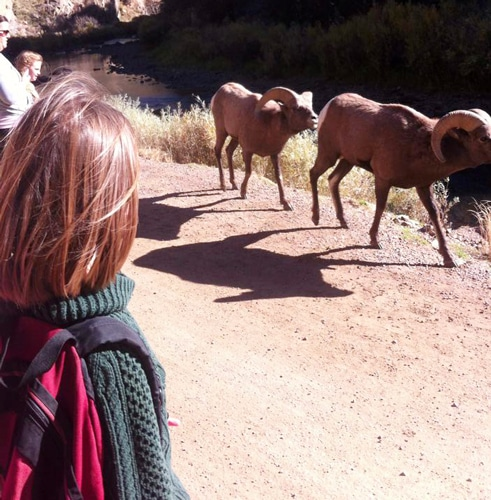 View of the author's daughter watching two bighorn sheep passing by