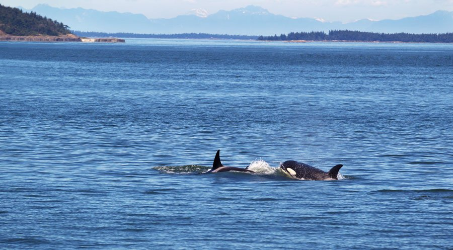 View of two orca whales in the San Juan Islands
