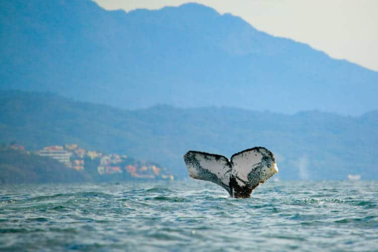 Whale watching in the Banderas Bay near Puerto Vallarta, Mexico