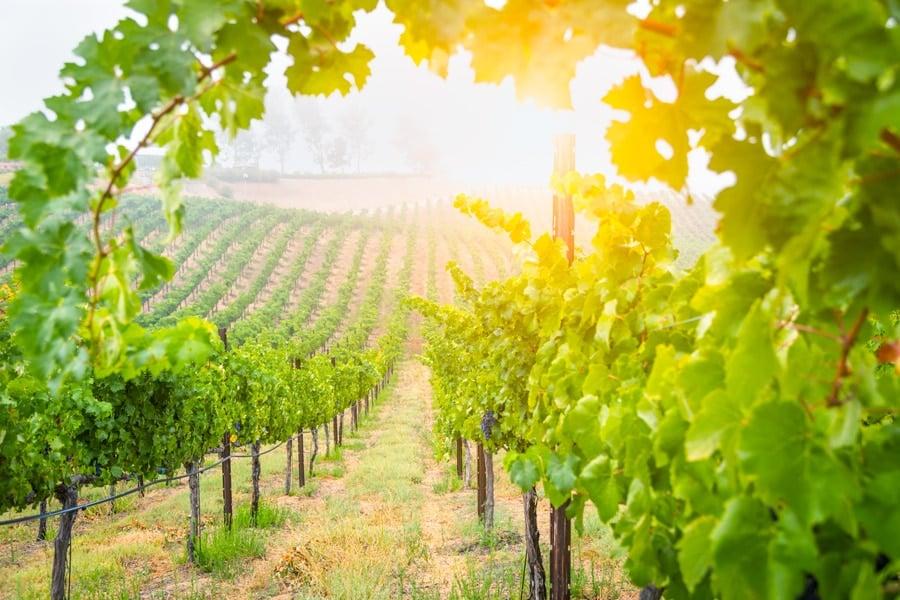 View of beautiful wine grape vineyard in Temecula
