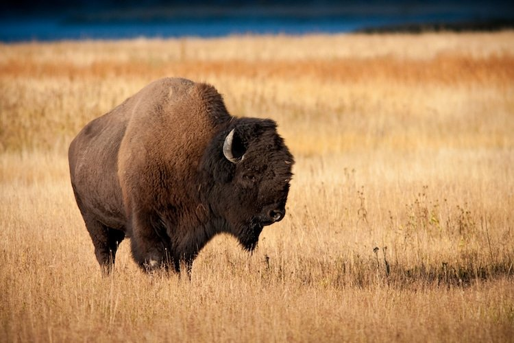 A buffalo standing in prairie grass